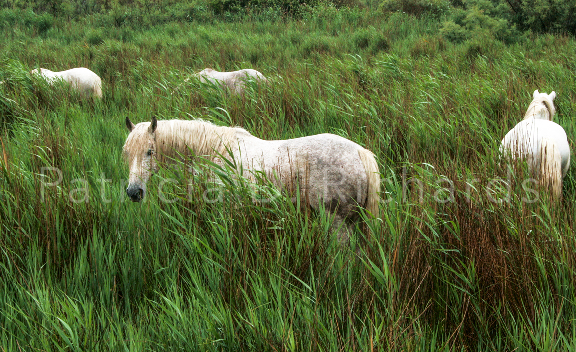 Horses-of-the-Camargue